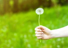 Lovely summer picture of a female hand holding dandelion against grass background royalty free stock photography