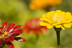 Lovely Summer Zinnias Royalty Free Stock Photos