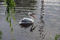 Beautiful bird swims in the lake in zoo, Copenhagen. A lovely summerday in Copenhagen a beautiful bird swims in the lake in zoo stock photography