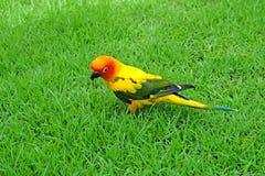 Lovely Sun Conure bird on the Meadow Royalty Free Stock Photos