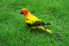 Lovely Sun Conure bird on the Meadow Royalty Free Stock Photo