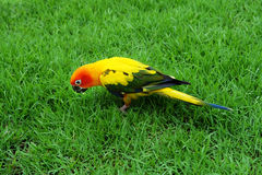 Lovely Sun Conure bird on the Meadow Royalty Free Stock Photography