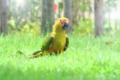 Lovely Sun Conure bird on the Meadow Stock Image