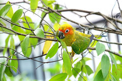 Lovely Sun Conure bird Royalty Free Stock Photos