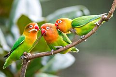 Lovely Sun Conure Parrot Birds On The Perch. Pair Of Colorful Sun Conure Parrot Birds Interacting. Stock Images
