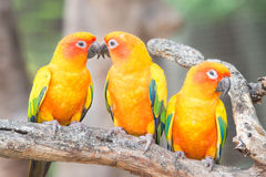 Lovely Sun Conure Parrot on the perch Royalty Free Stock Photos
