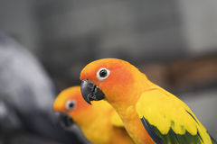Lovely sun conure parrots bird eat food Stock Images