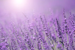 Lovely sunny purple lavender flower background. Purple violet color sunny blurred lavender flower field closeup background. Selective focus used royalty free stock photo
