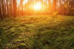 Lovely Sunset Behind The Forrest In Russia. Sunrise In A Forest, Sunbeams Through The Trees.  stock photo