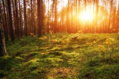 Lovely Sunset Behind The Forrest In Russia. Sunrise In A Forest, Sunbeams Through The Trees.  royalty free stock photography