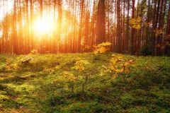 Lovely Sunset Behind The Forrest In Russia. Sunrise In A Forest, Sunbeams Through The Trees.  royalty free stock images