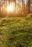Lovely Sunset Behind The Forrest In Russia. Sunrise In A Forest, Sunbeams Through The Trees.  stock image