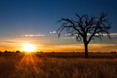 Lovely sunset in Kalahari with dead tree Stock Photos