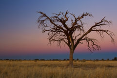 Lovely sunset in Kalahari with dead tree Royalty Free Stock Images