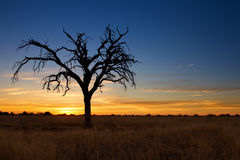 Lovely sunset in Kalahari with dead tree Royalty Free Stock Photography