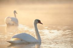 Free Lovely Swans In The Sunshine Romantic Couple Of Swans On The Lake At Sunrise Stock Images - 138989034