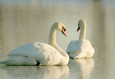Lovely Swans at sunset in winter stock images