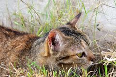The Lovely Tabby Cat relaxing on the grass field to looking for something stock image