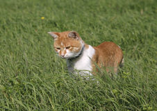 Lovely tabby kitten hunting on the lawn Stock Images