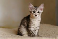 Lovely thoroughbred kitten. Lovely thoroughbred gray kitten. Breed Kurilian Bobtail. Hypoallergenic breed of cats royalty free stock photos