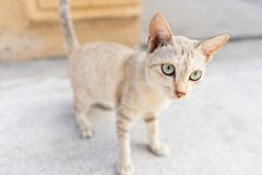 Lovely tiny kitten small cat. Lovely gold tiny kitten cat standing focus at the eyes royalty free stock photography
