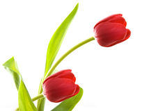 Lovely tulip Royalty Free Stock Photo