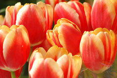 Lovely Tulips Stock Images