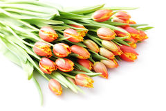 Lovely tulips Stock Photo