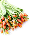 Lovely tulips Stock Photos