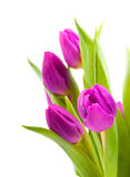 Lovely tulips Royalty Free Stock Photography