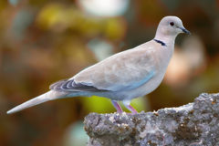 Lovely turtle dove Royalty Free Stock Photography