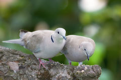 Lovely turtle doves Stock Image