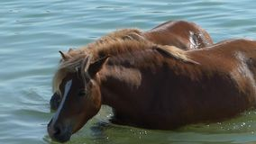 Two Beloved Brown Horses Drink Water in The River in Summer in Slow Motion. A Lovely View of Two Beloved Horses With Yellow Manes and White Stripes on Their stock footage