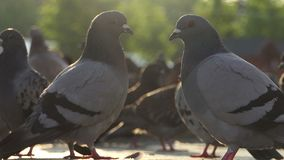 Two doves look at each other among other doves on a square in slo-mo. A lovely view of two doves looking at each other while being among other doves on a square stock video footage