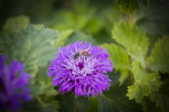 Lovely violet colour blossom flower Queen Anne's Thistle Stock Photo