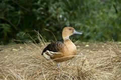Lovely Whistling Duck Stock Photography