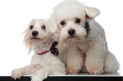 Lovely white bichon couple sitting with paws hanging Royalty Free Stock Images