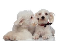 Lovely white bichon kissing his brother Royalty Free Stock Images