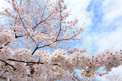 Lovely white cherry blossoms, or sakura, flowering on a tree in Japan in spring Stock Image