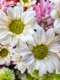 Lovely white chrysanthemum, hardy mums, hardy chrysanth on blur background. royalty free stock image