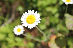 Lovely white daisies and leaves royalty free stock photography