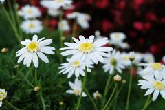 Lovely white daisy flower in small garden with red flower as a background Stock Image