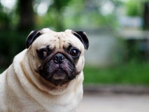 A lovely white pug Royalty Free Stock Images