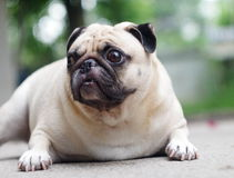 A lovely white pug Stock Image