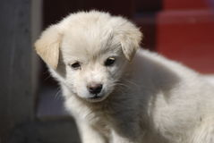 Lovely white puppy Royalty Free Stock Photo