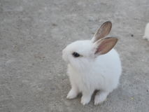 Lovely white rabbit with long ears Royalty Free Stock Photo