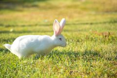Lovely white rabbit with pink ears on juicy green grass. The Lovely white rabbit with pink ears on juicy green grass Stock Image