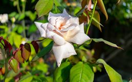 Lovely white rose with blur background. The white rose in a garden. stock photos