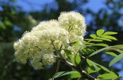 Lovely White Sorbus aucuparia Blossom. The beautiful white blossoms of Sorbus aucuparia, also known as Mountain Ash,or Rowan Tree Stock Photo