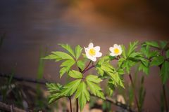 Lovely white spring flower anemone nemorosa in the forest, floral background. Lovely white spring flower anemone nemorosa on the background of flowing water stock images